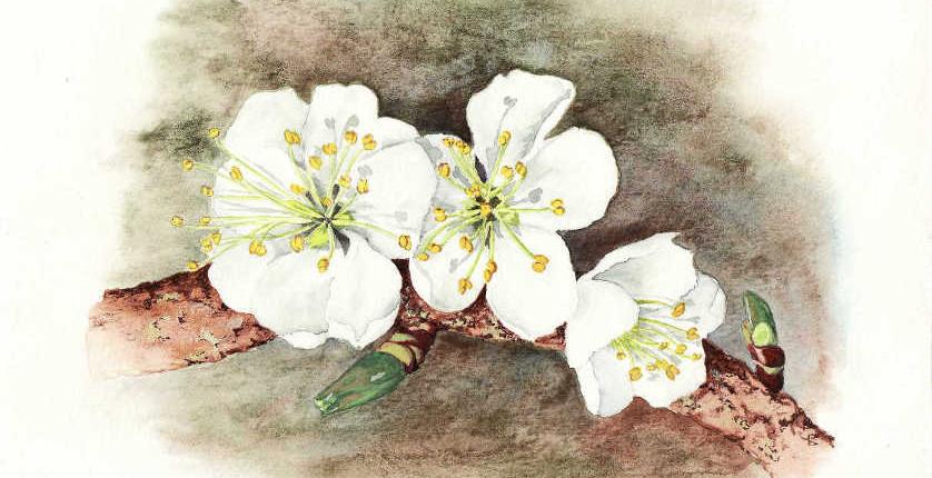 Cerisier en fleur, gouache sur papier aquarelle