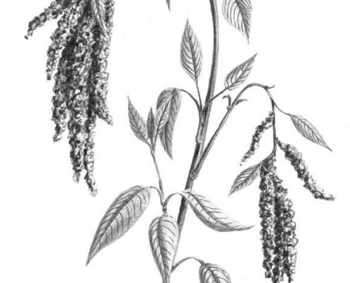 Trésors alimentaires des Andes-kiwicha
