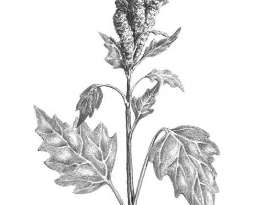 Trésors alimentaires des Andes-quinoa