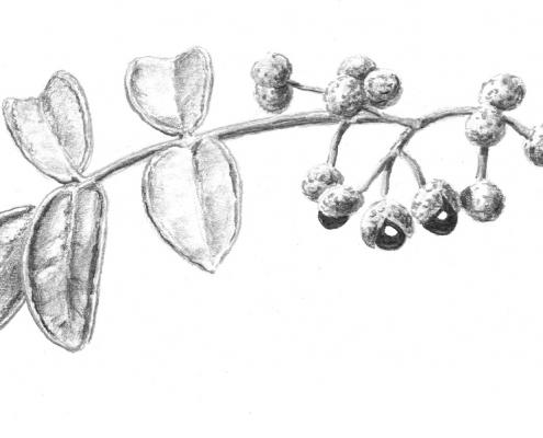 Les poivres agrumes